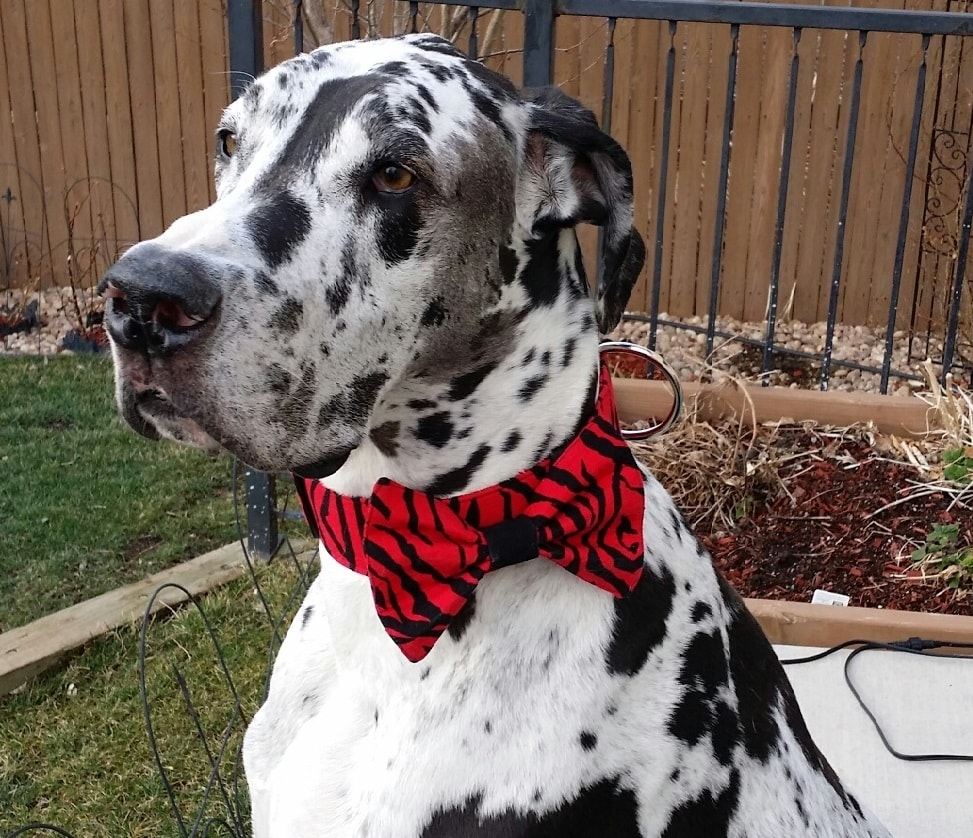 0130-frankie-modeling-red-bow-tie