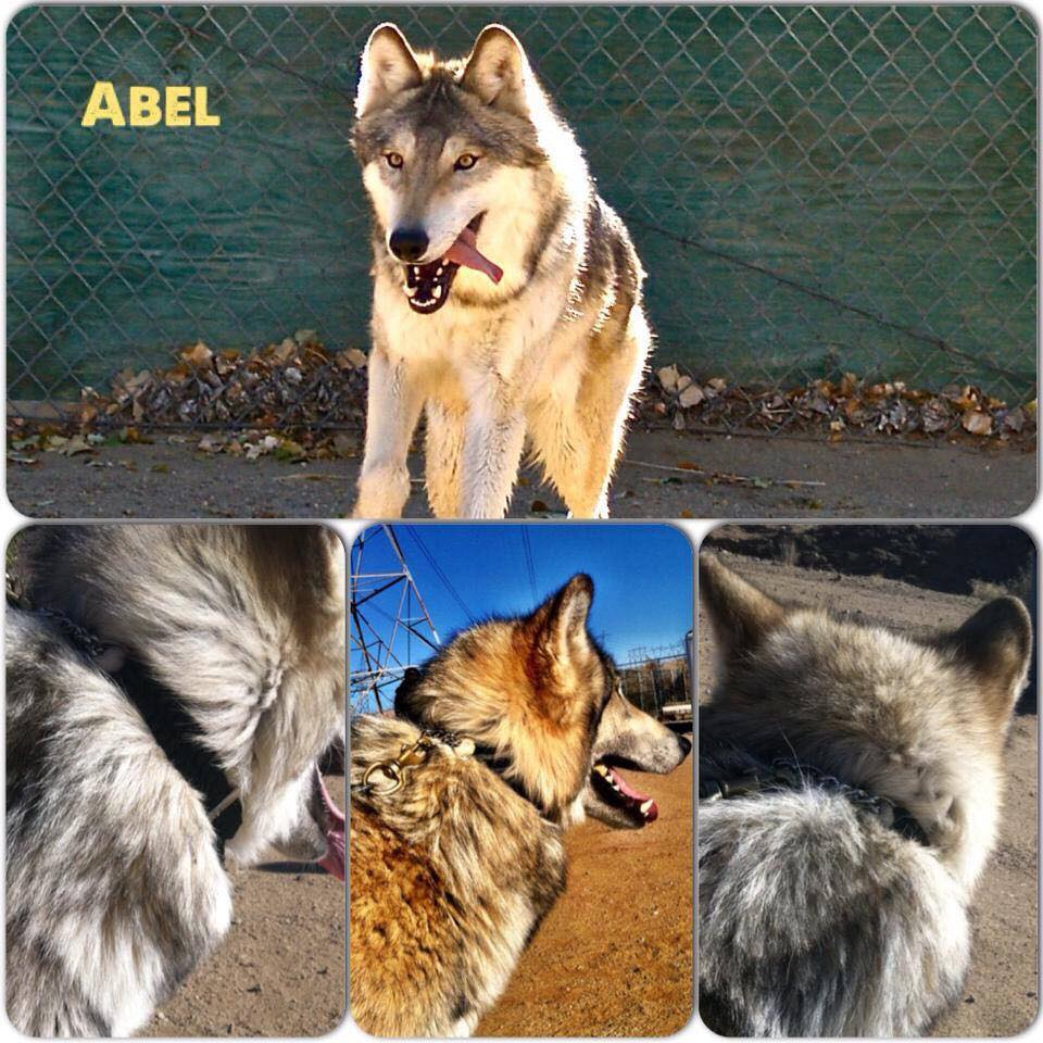0150-abel-the-wolf