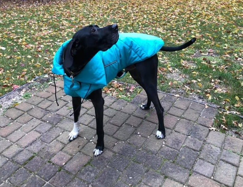 Black Dane in turquoise coat