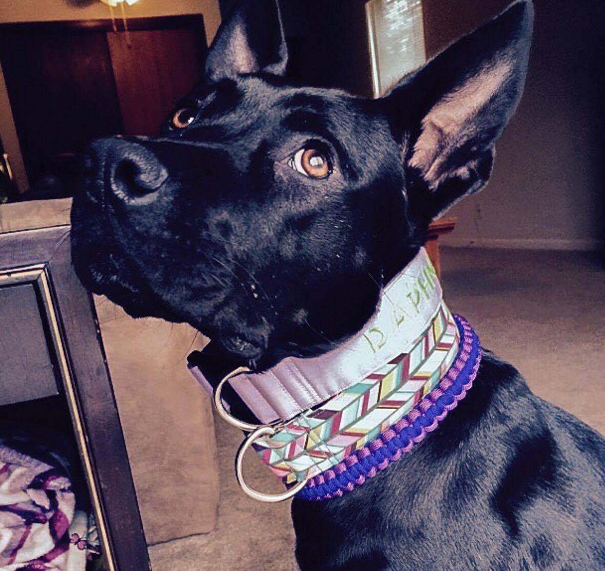 0310-dog-wearing-3-collars