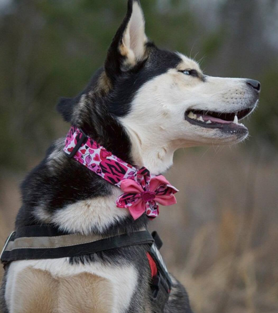 0400-husky-in-pink