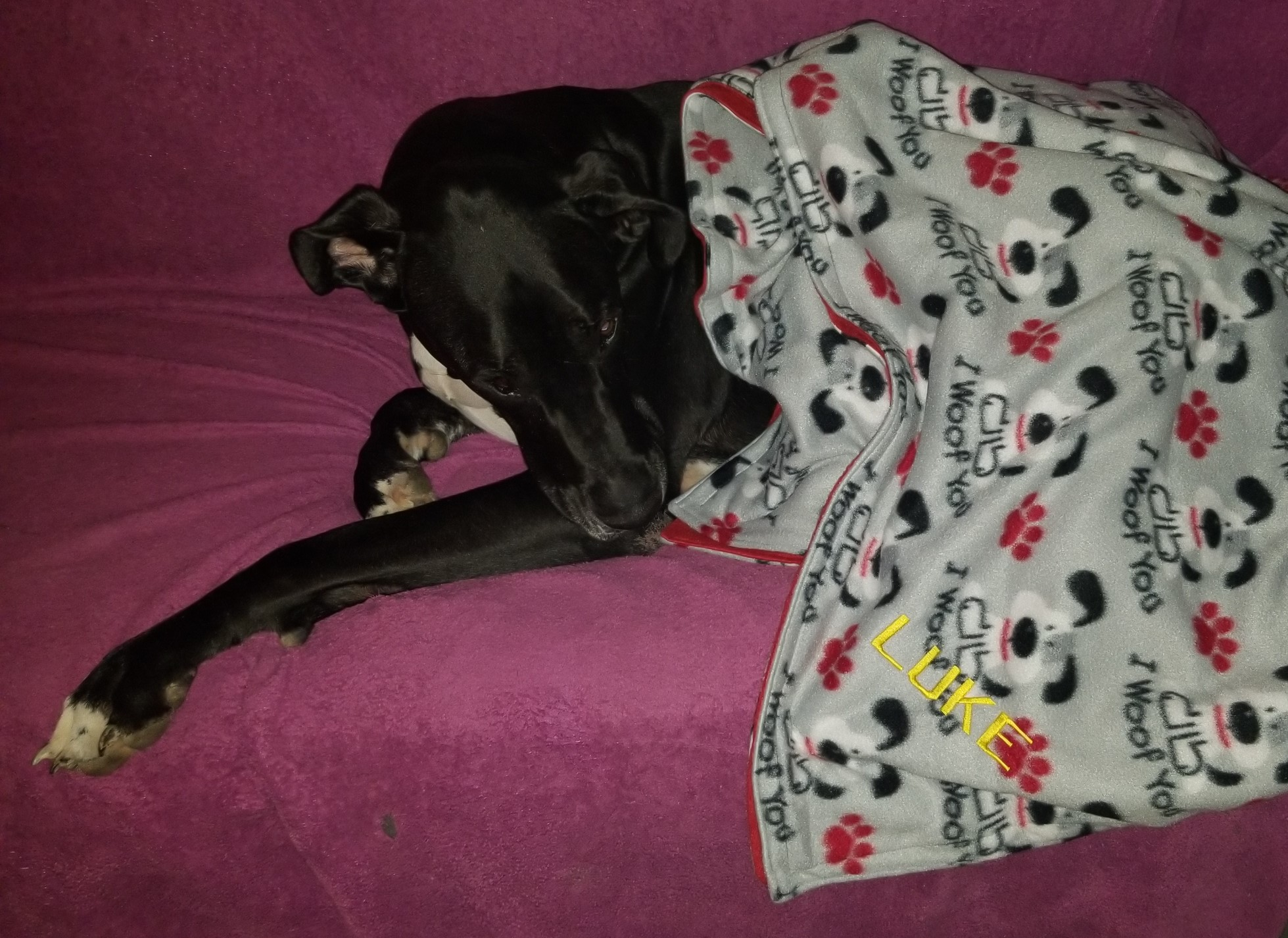 Luke the Great Dane in his blanket