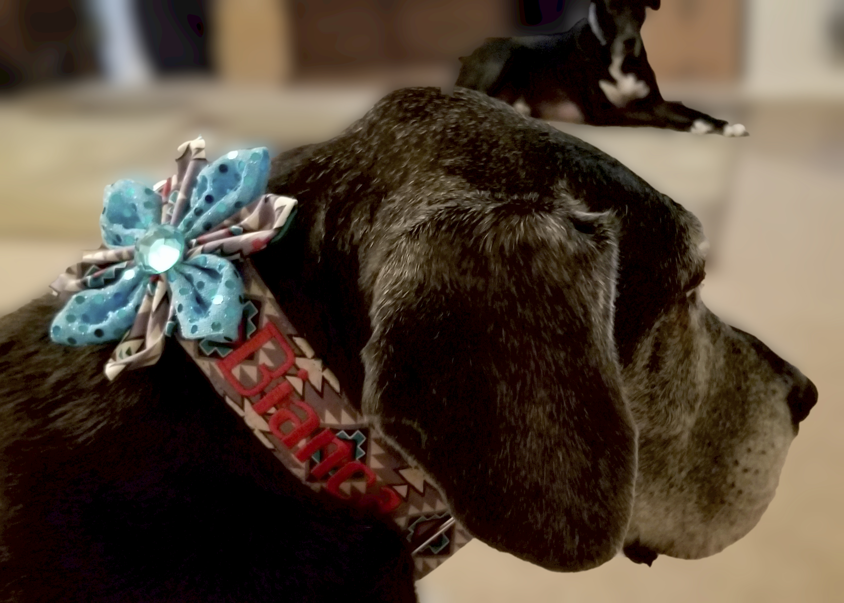 Great Dane in Arizona pattern collar and flower