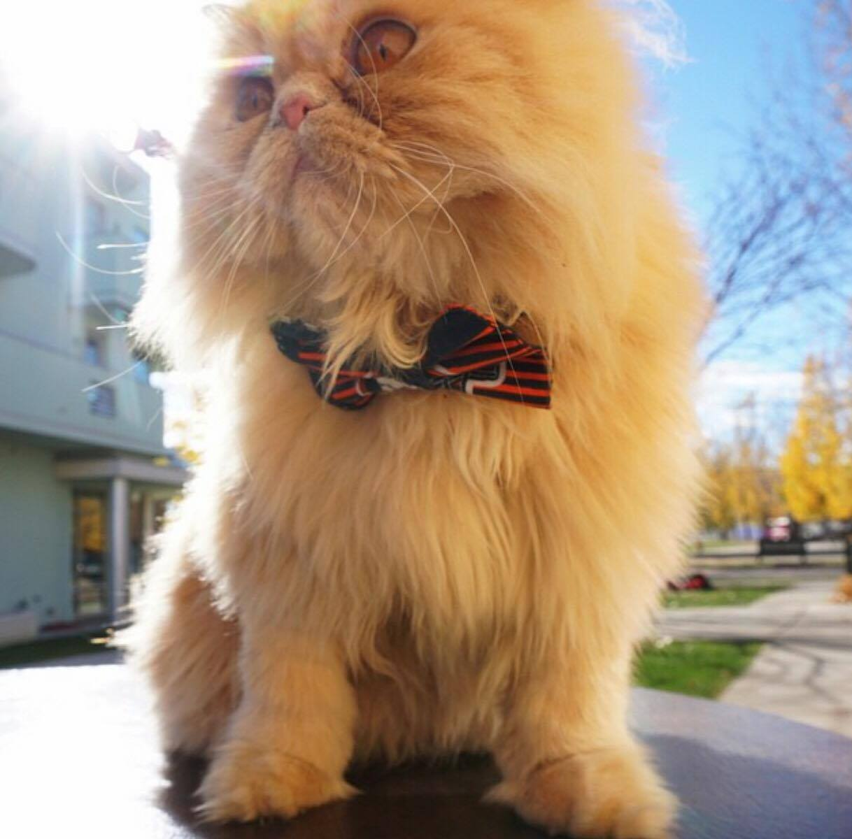 0610-persian-wearing-a-bow-tie