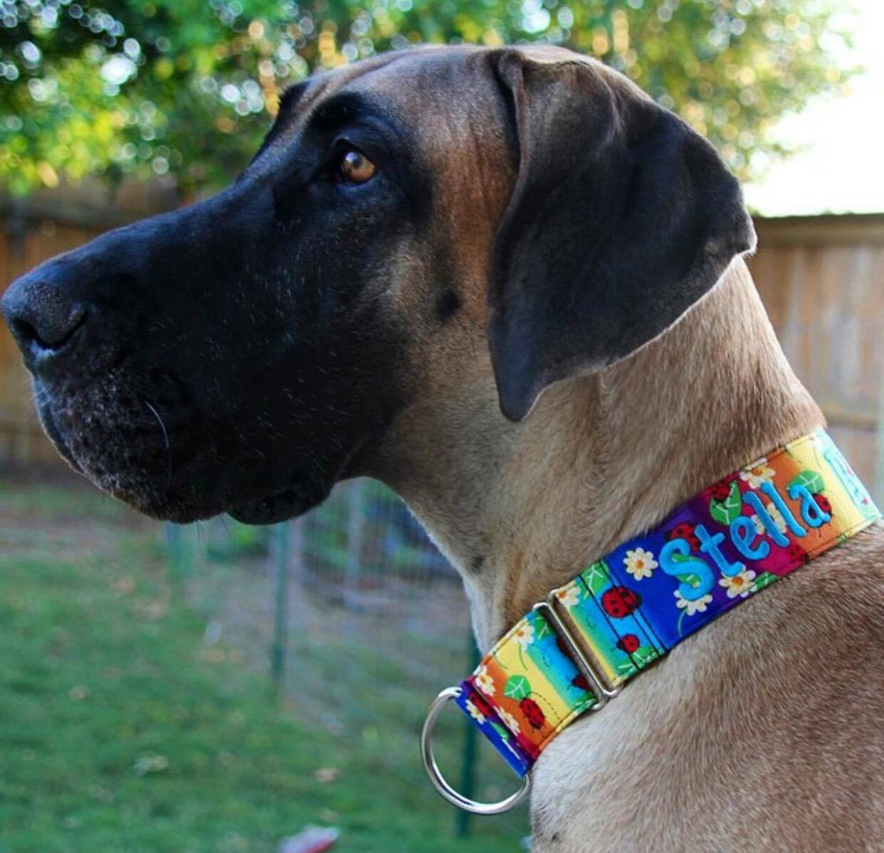 Stella Great Dane in a collar