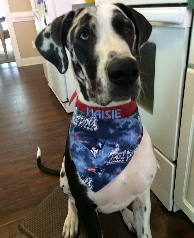 Great Dane Maisie in bandana