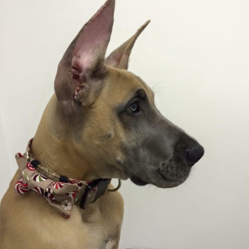 Fawn Great Dane in collar and bow tie