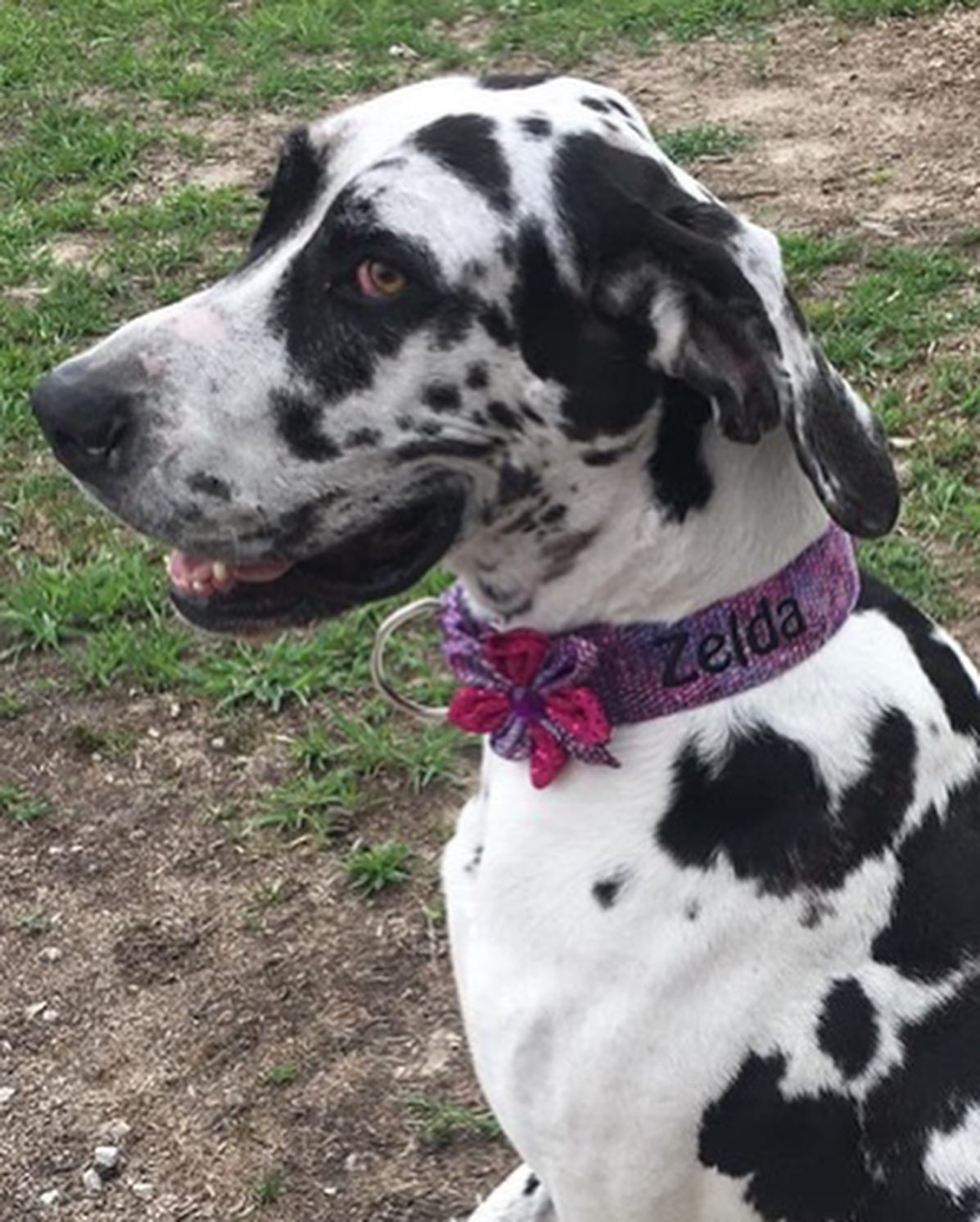 harlequin Great Dane Zelda in collar and flower