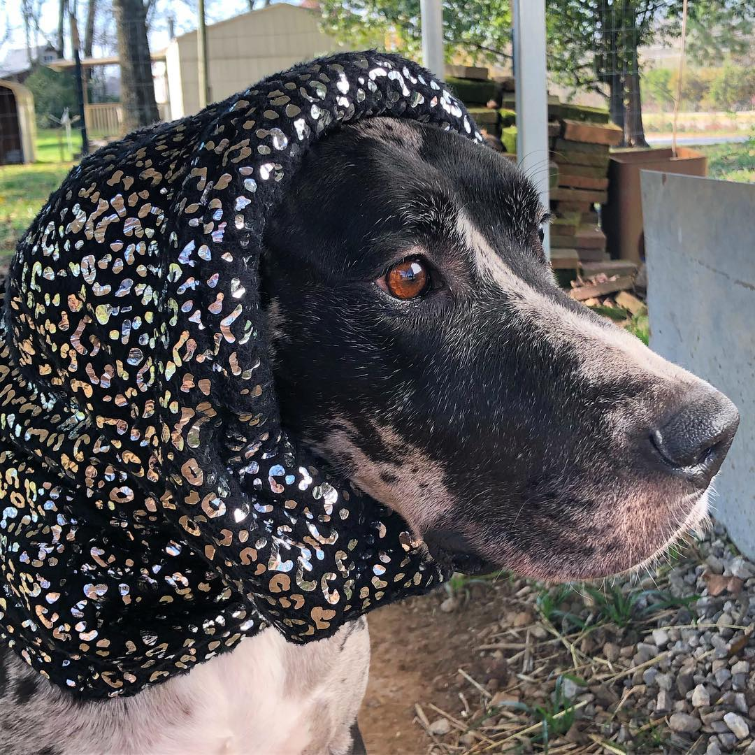Great Dane Bella in a snood