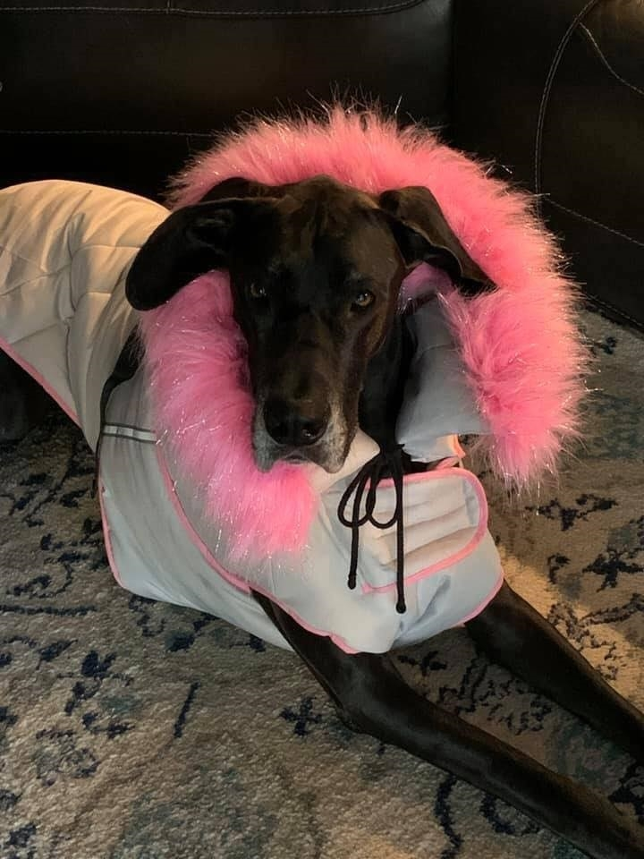 black Dane in coat with pink collar