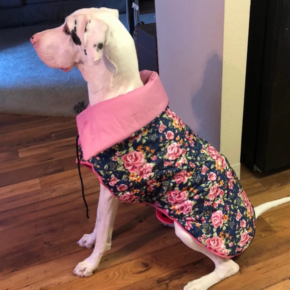 White Dane in pink coat