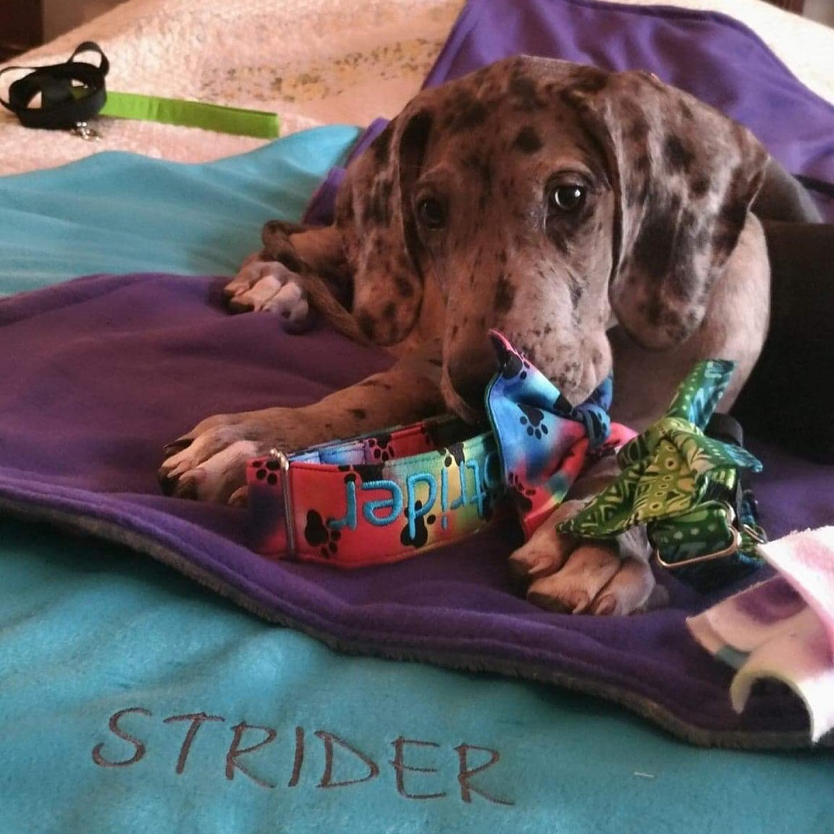 Strider puppy on blanket with collars