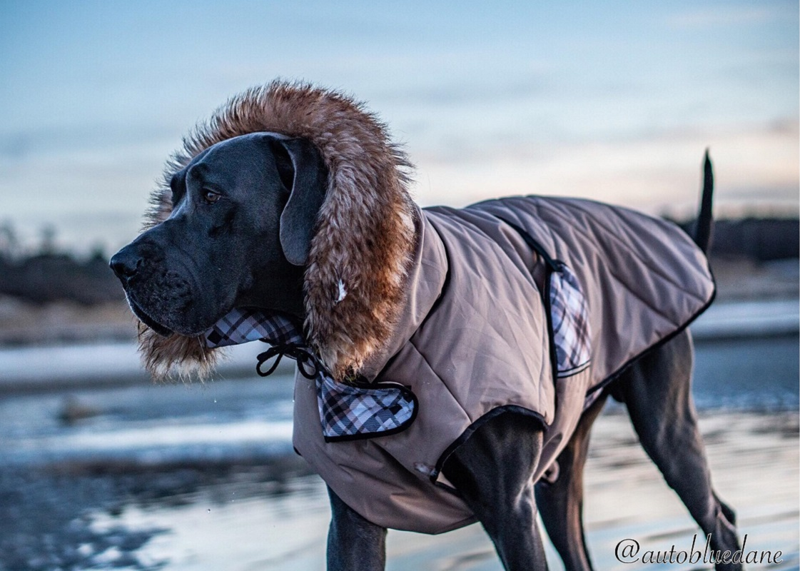Great Dane in a coat