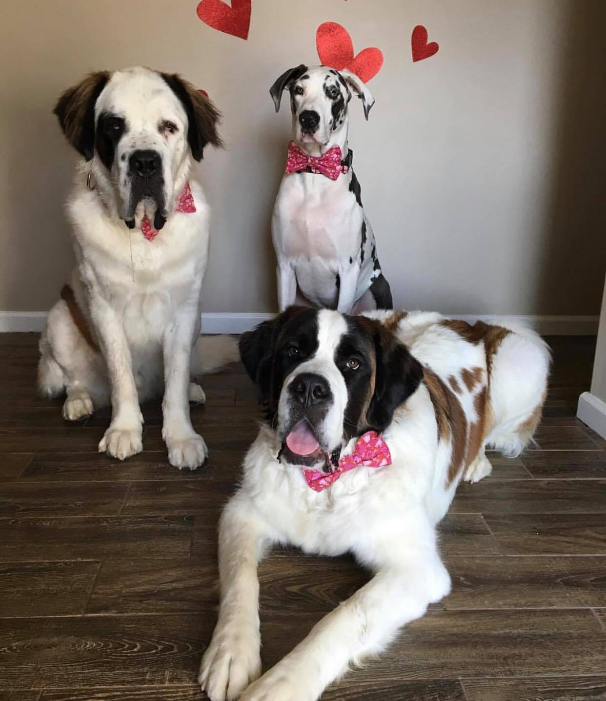 2 Saint Bernards and a Great Dane